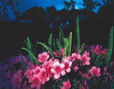 山村雅昭写真集『花狩』(アドバタイズ・コミュニケーション 1988)より サツキ
