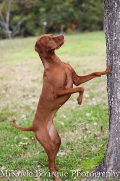 During our shoot, Rhemy was trying to hunt and dig in burn piles while. Vizsla, Sweet Girls, Kangaroo, Pure Products, Weddings, Photography, Animals, Baby Bjorn, Photograph