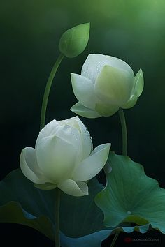 Lotus is the most beautiful aquatic flowers that look very soft, charming and peaceful. They are colorful flowers such as red, white, pink. Flowers Nature, Exotic Flowers, Amazing Flowers, White Flowers, Beautiful Flowers, White Lotus Flower, Pink Lotus, Colorful Flowers, Beautiful Pictures