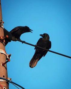 むっちゃ怒られてた。 ナニしたの?   #crow #bird #カラス #鳥