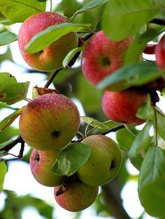"""Surely the apple is the noblest of fruits. Fruit And Veg, Fruits And Veggies, Fresh Fruit, Vegetables, Fresh Apples, Apple Farm, Apple Orchard, Exotic Fruit, Tropical Fruits"