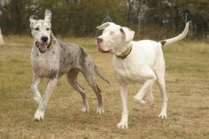 Lily is a Great Dane that has been blind since a bizarre medical condition required that she have both her eyes removed. For the last 5 years, Maddison, another Great Dane, has been her sight.  A dog's seeing eye dog.