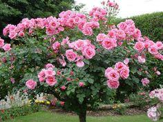 #roseira#