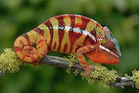 Panther Chameleon (Furcifer pardalis) | Paul Bratescu