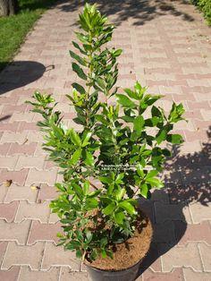 Killarney Strawberry Tree, Strawberry Tree   Jahodovec obyčajný (Planika veľkoplodá, jahodový strom)   Arbutus unedo Arbutus Unedo, Plants, Strawberry Tree, Plant, Planting, Planets