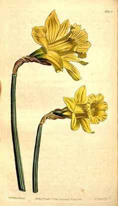 Vintage Daffodill Illustration for craftng and scrapbooking