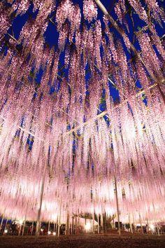 Wisteria, Ashikaga, Japan #iLuv #iLuvTravel