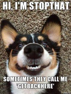 Hi im stopthat – funny dog meme
