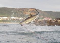 s juvenile white shark must have cleared the water by a couple of meters... incredible. Dave Alexander - we have some incredible shark activity in Mossel Bay