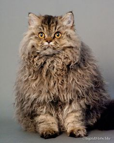 The Selkirk Rex originated in Montana, USA in 1987, with a litter born to a rescued cat. The only unusually coated kitten in the litter was ultimately placed with breeder Jeri Newman, who named her Miss DePesto. This foundation cat was bred to a black Persian male, producing 3 Selkirk Rex & 3 straight-haired kittens. The breed has been developed in two coat lengths, long & short. The coat is very soft and has a woolly look and feel with loose, unstructured curls.