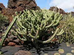 Myrtillocactus geometrizans - Bilberry Cactus