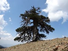 De oudste boom van Europa. In Griekenland. 1075 jaar oud