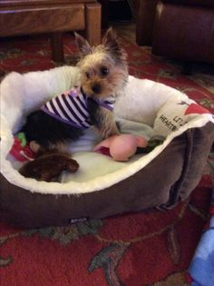 "Toy Yorkshire Terrier  Little Heart❤️Breaker ""Molly"""