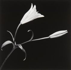 Lily with Bud - Robert Mapplethorpe    Mapplethorpe's Lily With Bud is an elegant black-and-white image of a freshly opened lily positioned beside a mature bud on a single stem. Brilliantly and evenly lit, the image retains a sense of classical chiaroscuro while also maintaining an evenly saturated satin effect on the surface of the flowers, leaves and stem. This type of classically aesthetic and beautifully stylized still life was prevalent in Mapplethorpe's oeuvre throughout the 1980s.