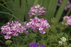 more from category Botanical http://earth66.com/botanical/tropical-breeze-verbena/