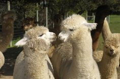 """Pour Vous Alpaca Blog — Alpaca Clothing Store """"Why Choose Alpaca?"""" Read our blog post to find out more!"""