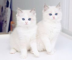 Kitties..White with blue eyes! So pretty