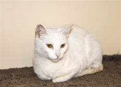 Willow is a 3 yr. old female DSH available at Woods Humane Society, San Luis Obispo,CA.