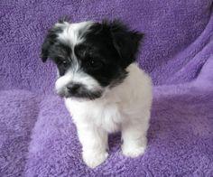 My Best Friend, Best Friends, Havanese Puppies For Sale, Dogs, Animals, Beat Friends, Bestfriends, Animales, Animaux