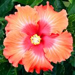 Exotic Hibiscus 'Hot Pepper'