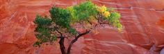 A Cottonwood Tree in Front of a Sandstone Wall, Escalante National Monument, Utah, USA Photographic Print by Panoramic Images at Art.com