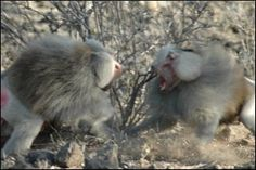 There are dominance hierarchies for both male and female baboons. Males aggressively compete for higher status and for dominant females. Males that are higher ranked establish stronger consortships causing higher mating success. Female baboons receive ranking just below their mother and these rankings within group are stable for many generations. Higher ranking females reproduce earlier in life; get better food sources and access to males.