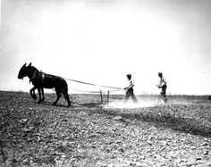 Plowing with a mule, sowing lespedeza by hand, Sumner County, Tennessee 1941