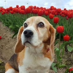 A beagle and tulips. What more could you want?