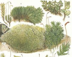 Vintage Moss Print, Rustic Green Nature Print, Plants Identification Book Plate 181