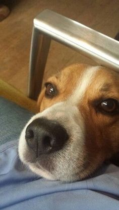 Please give me some attention! #Beagle