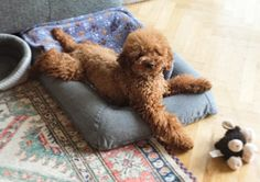Miniature red poodle: Eris
