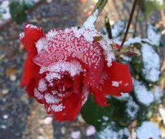 rose avec neige