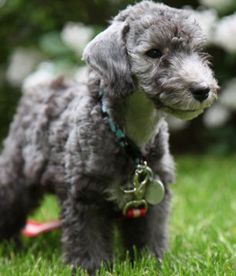 Bedlington Terriers puppies are so adorable! Pitbull Terrier Puppies, Bull Terrier Dog, Terrier Mix, Hound Dog, Terriers, Cute Puppies, Cute Dogs, Dogs And Puppies, Doggies