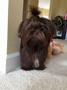 More About Playfull Shih Tzu Puppy Shitzu Puppies, Cute Puppies, Cute Dogs, Dogs And Puppies, Yorkies, Puppys, Perro Shih Tzu, Shih Tzu Puppy, Shih Tzus