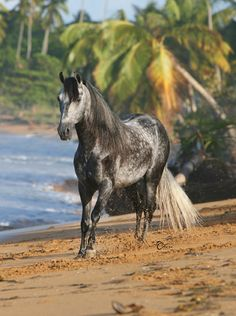 A Paso Fino horse on the beach-- in Equitrekking's Horse Breed Guide.