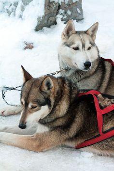 Arctic Circle Husky Park