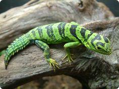 Green Thornytail Iguana (Uracentron azureum) … an arboreal species of lizard… Cute Reptiles, Reptiles And Amphibians, Beautiful Creatures, Animals Beautiful, Lizard Species, Animals And Pets, Cute Animals, Chameleon Lizard, Komodo Dragon