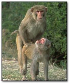 Two monkeys having sex very