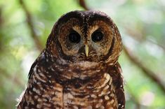Spotted Owl (Strix occidentalis) close-up. Photo by Kristian Skybak.