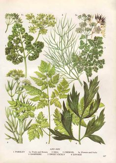 Vintage Herb Botanical Print, Food Plant Chart, Art Illustration, Wall Decor, Parsley, Dill, Chervil. $10.00, via Etsy.