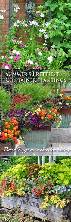 Three Dogs in a Garden: The Summer's Prettiest Container Plantings