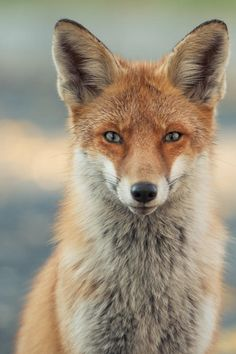❥ Red Fox by Gabor Nagy