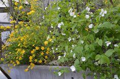 2色のヤマブキ、ヤマツツジ 2015 : 雑木林の家から-nishio