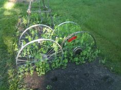 Old bike wheels work nicely as supports for sugar snap peas in the garden. https://twitter.com/#!/allability/status/200574471252353025/photo/1