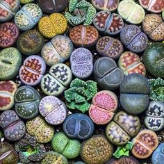 Lithops at their best