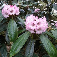 """Rhododendron rex - or """"King Rhododendron"""""""