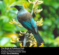 its ecology and history - Friends of Pukekura Park New Plymouth Inc. - Tui and the Flowers of Native Flaxes Beautiful Birds, Beautiful Pictures, Tui Bird, How To Attract Birds, Ceramic Birds, Sea Birds, Color Stories, Native Plants, Ecology