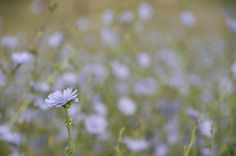Blue Weeds - Chickory