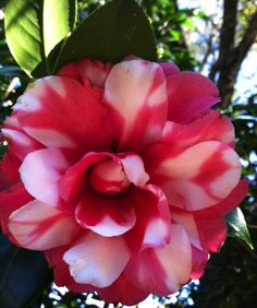 marbled  camellia - we have one like this  - it is beautiful