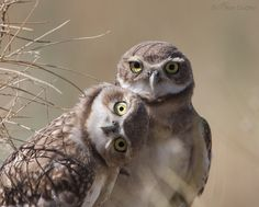 These burrowing owls are trying to figure out the strange creature in front of them.  ron dudley